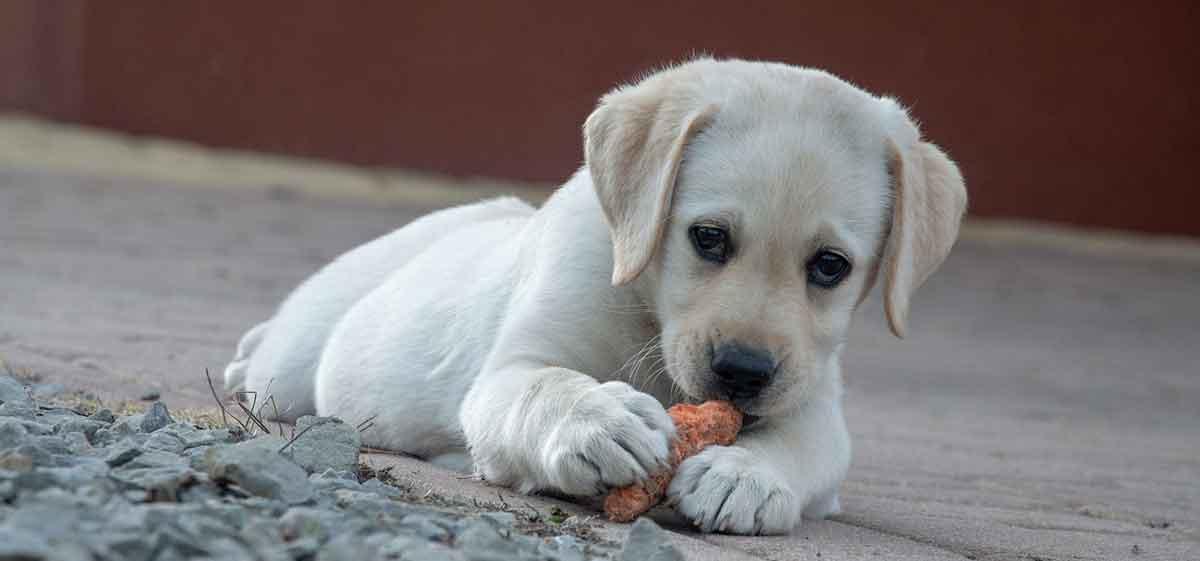 vegetarische voeding hond